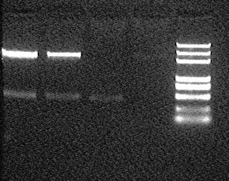 Peking 2007-8-4 Ori-T pSB1A2mini-prep double digesting test result(small).jpg