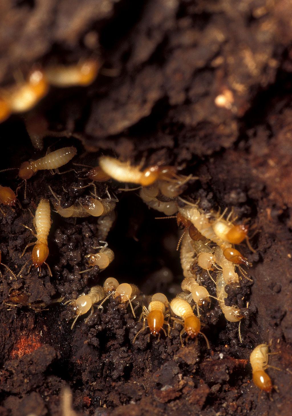 Termites rush.jpg