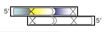 File:Macintosh HD-Users-nkuldell-Desktop-oligo v4.png
