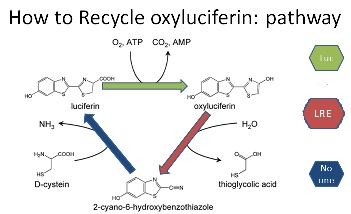Model.11.May.2010.RecycleoxyLuciferin.jpg