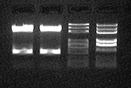 File:Peking 2007-8-2 OriT-pEasy-T3 mini-prep digesting result.jpg