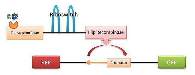 File:650px-Flip Recombinase.JPG