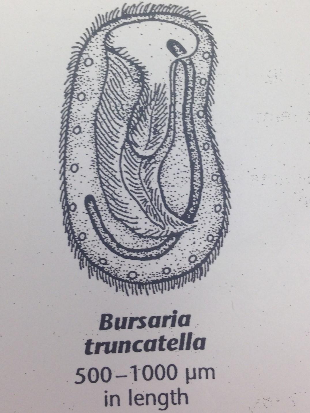 Bursaria truncatella isabelle 2.jpg