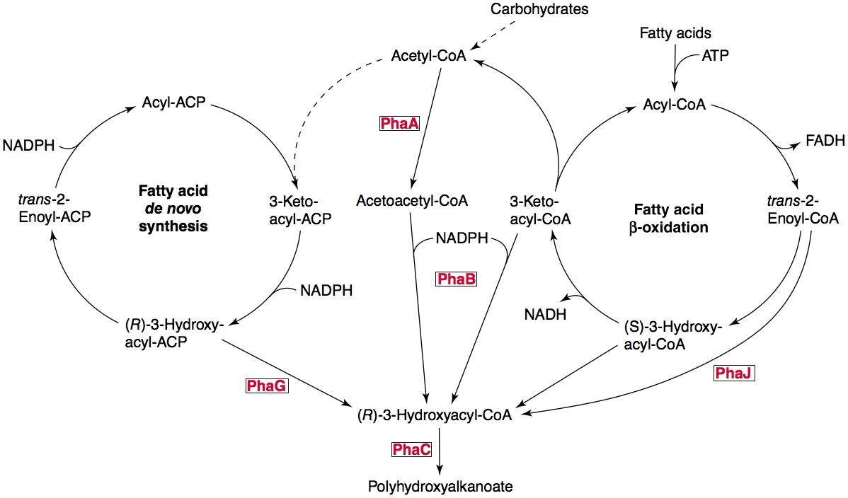 PHA pathways.jpg