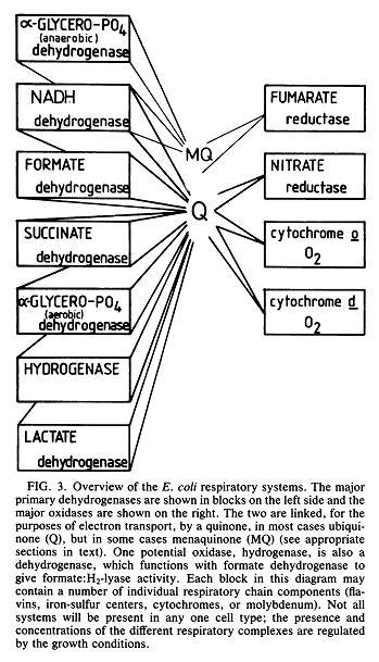 Resp chain e coli.JPG