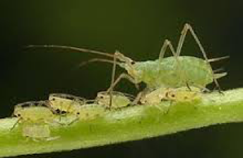 File:APHIDS.png