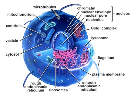 File:Cell.png