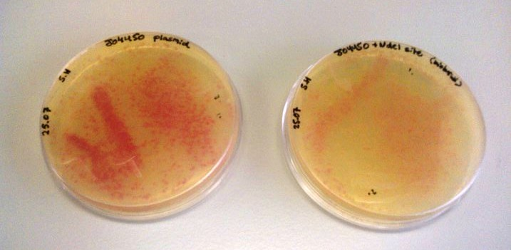 Fig.2:Two LB agar plates with Chlorophenicol antibiotic containing BBa_J04450 and J04450 with added NdeI site respectively.