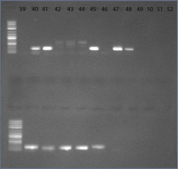 File:10dec09 primer 31 32 34 AV10094 gel2 text.jpg