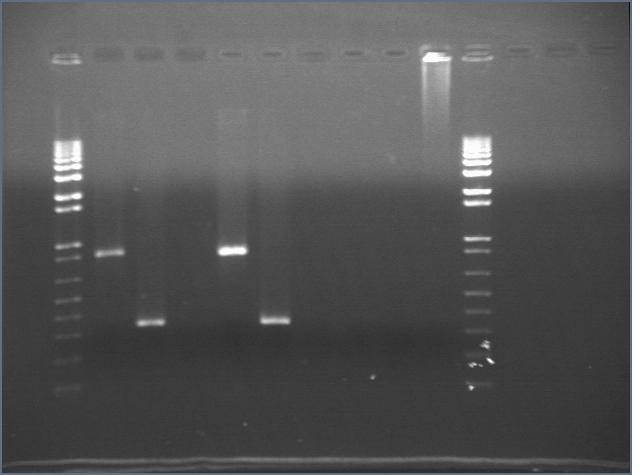 File:2006-8-1 split PCR.jpg