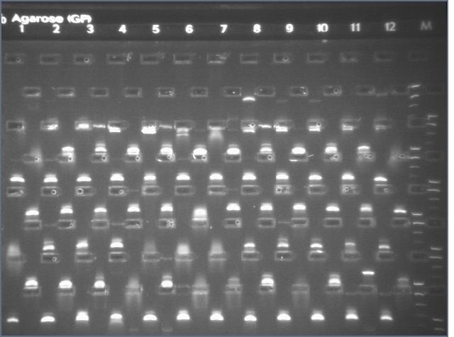 File:8-17 PCR gel 3.3 MXHTA.jpg