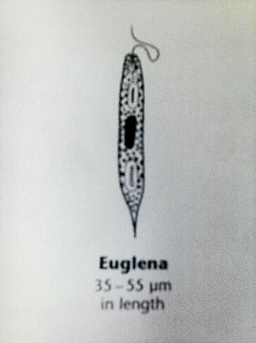 Euglena40um lab2.jpg
