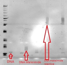File:Figure 23-Shows the smearing further up on the gel from where the DNA-Maleimide alone is shown, which proves the reactivity of the DNA..jpg