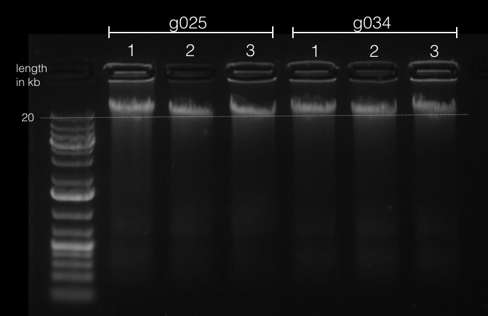 File:GDNA gel 2016-03-12 19.57.31.png