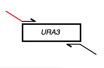 File:Macintosh HD-Users-nkuldell-Desktop-URA3fwd tail.png