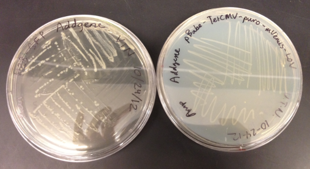 File:VN Plate Cultures.png