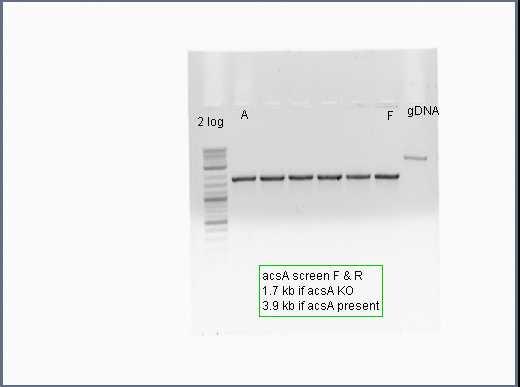 File:IGEM 2012-06-27 12hr 09min acsA screen F+R off 10 mM AA.jpg