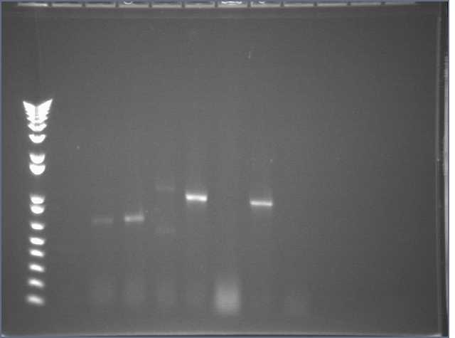 8-20 PCR gel PT.jpg