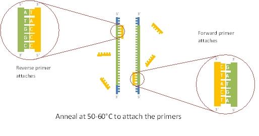 File:PCR3.jpg
