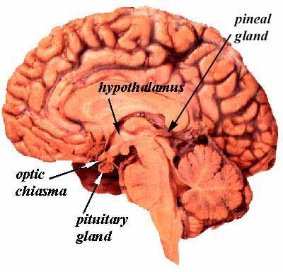 File:Pituitary brain.jpg