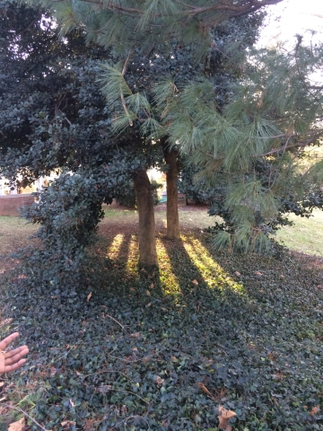 File:Transect2 treeandground.jpg