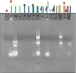File:BM12 Nanosaurs Aptamer Gel2 250.jpg
