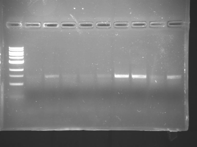 File:S15 20.109 16S PCR gel.jpg