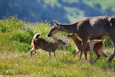 Image:Dixon's mother-deer-and-fawns.jpg