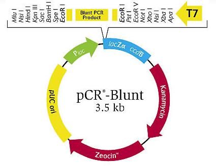 File:20109 pCR-Blunt map.png