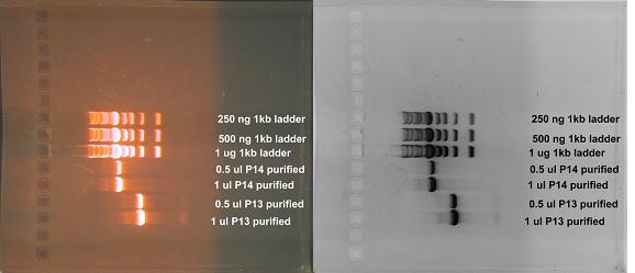 "Color and inverted B/W image of PCR product after restriction digest and QIAquick clenaup.  ""P13"" is the reaction we are referring to in this protocol.  Gel is probably 0.8% TAE agarose."