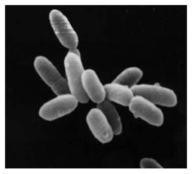 File:Halobacteria 090804.jpg