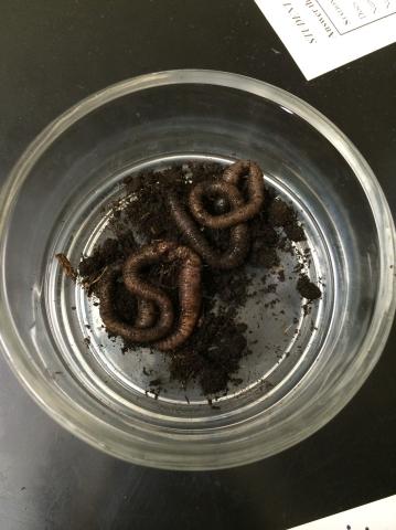 Lab5earthworm.jpg