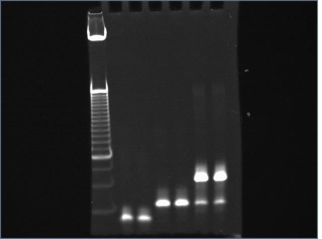 File:Cst805a35strepDNA.jpg