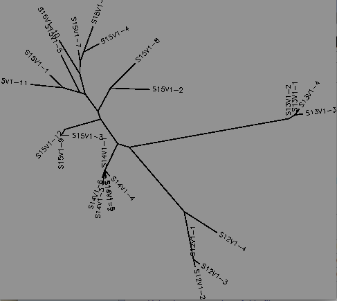 Unrooted tree of HIV-1 viral strains for subjects 15,14,13 and 12 for visit 1‎