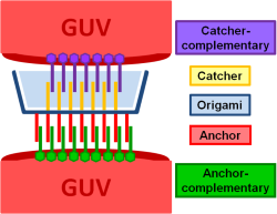 File:GUVs with 10 mol% negative charge (DOPS) with catcher-complement strands as target species s.png