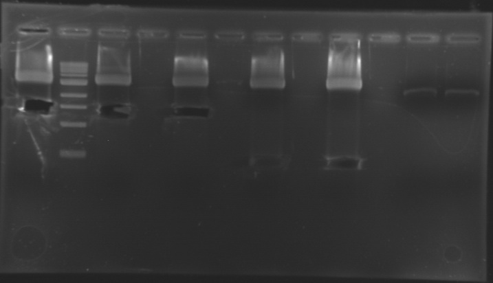 File:Gel0108 1cut.jpg