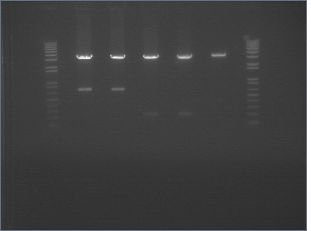 File:Genomic pcr set 2.jpg