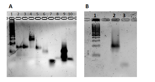 Figure 34. A:  Annealing of duplexes for transfections without Lipofectamine (the contrast has been increased). 1) 25 bp DNA ladder, 2) W179-GALA, 3) W179-melittin, 4) W004-melittin-W179-PEG5K, 5) Unmodified sisiRNA, 6) W181-W376, 7) Control W004, 8) Control W179, 9) Control W181, 10) Control  W376 B: Annealing of W004-melittin-W179-melittin to W376 for large scale transfection without Lipofectamine. 1) 25 bp DNa ladder, 2) annealed sisiRNA, 3) control W376.