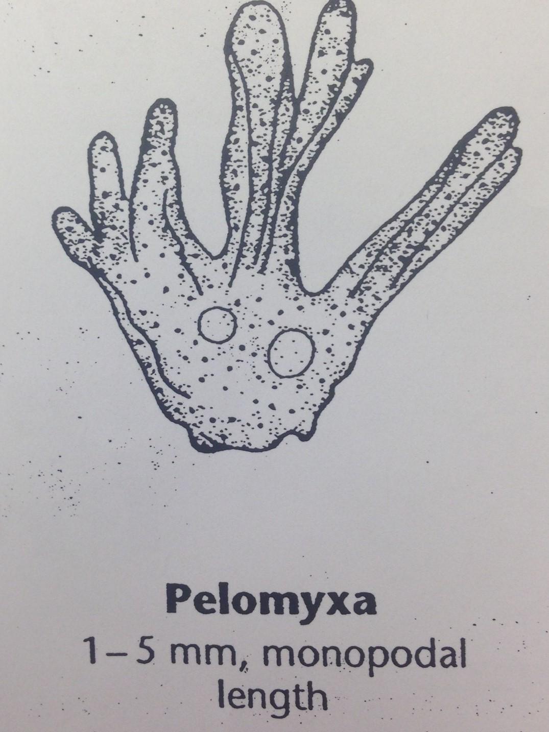 Pelomyxa isabelle.jpg