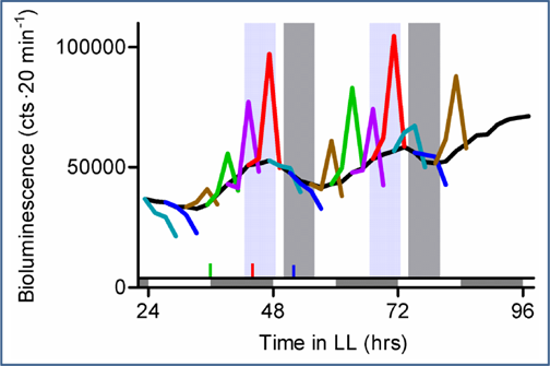 Figure 6.  Circadian gating of auxin sensitivity. Plants expressing the auxin-sensitive reporter eDR5::LUC were treated with auxin at 4 h intervals. The black line represents untreated control plants and illustrates circadian regulation of endogenous auxin signaling. Bioluminescence levels at 1 h prior to treatment and 1, 3, and 5 h after treatment are shown in various colors for each auxin application. Areas shaded light- and dark-gray correspond to the 6-h periods during which exogenous auxin promotes or has no effect, respectively, on hypocotyl elongation.  Figure from [8].