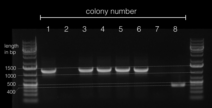 Image:2016-03-12 colony PCR.png