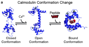 Protein conformational change after molecule binding