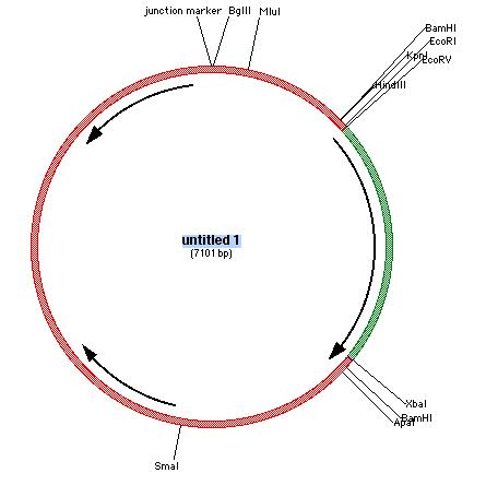 File:GCK circular DNA schematic.png