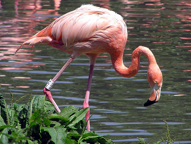 Image:Greater flamingo1.jpg