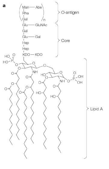 O-antigen.jpg
