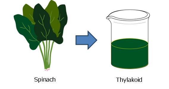File:Spinach.jpg