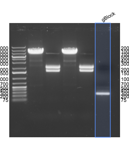 File:2015-04-07 gBlock PCR product gel annotated.png