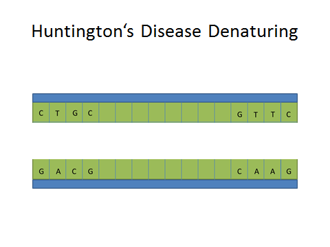 Image:Huntington's Denaturing DNA.jpg