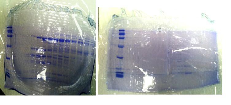 File:032812 protein gel.JPG
