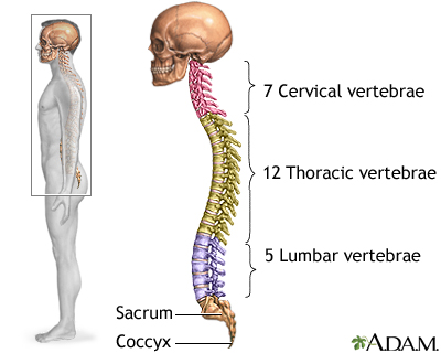 Source A: A general depiction of the spinal column regions..